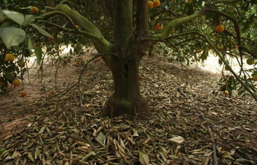 citrus tree picture.png