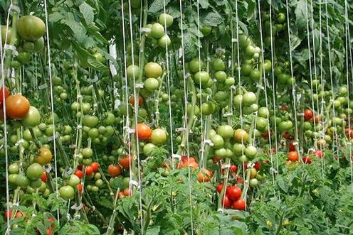 Agronomic Principles in Tomato Production | Yara United States