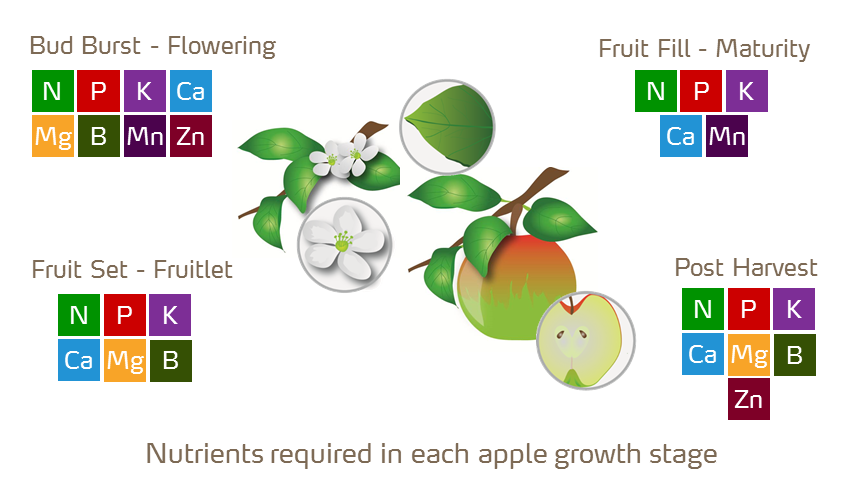 apple plant illustration