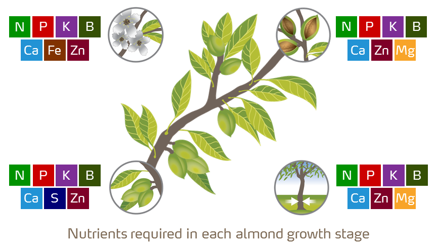 almond growth stages illustration