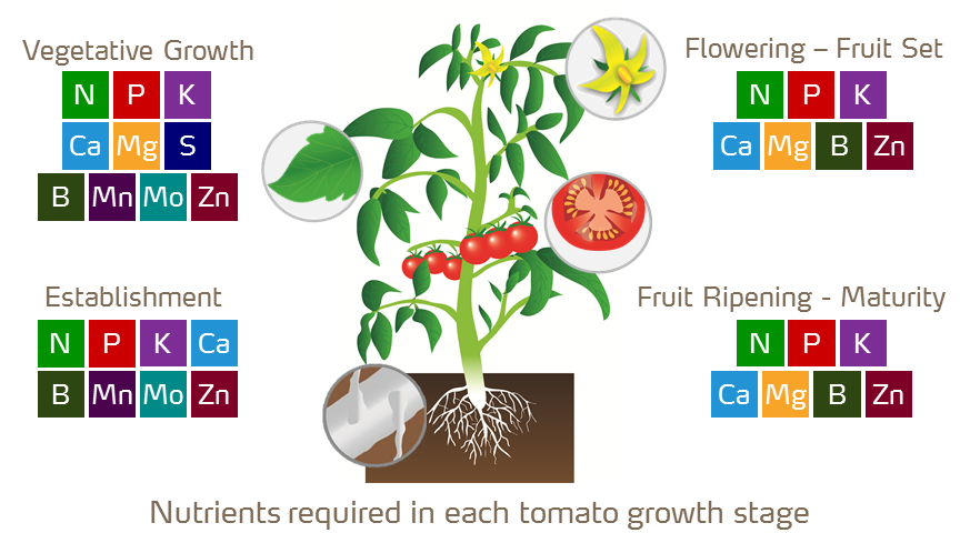 nutrients required by tomato growth stages