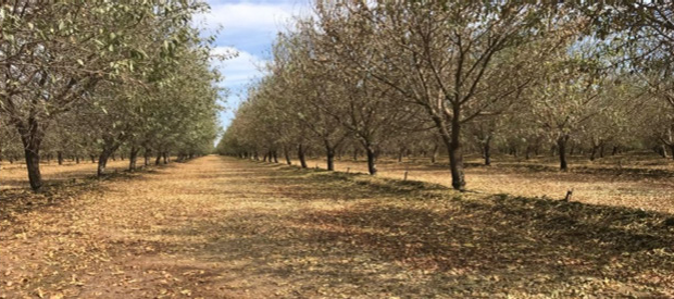 almond orchard post harvst.png